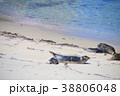アメリカ合衆国カリフォルニア州サンディエゴのラホヤの海岸のアザラシの群れ 38806048