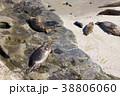 アメリカ合衆国カリフォルニア州サンディエゴのラホヤの海岸のアザラシの群れ 38806060