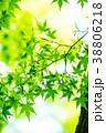 新緑 葉 葉っぱの写真 38806218