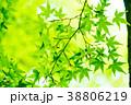 新緑 葉 葉っぱの写真 38806219