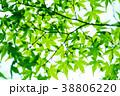新緑 葉 葉っぱの写真 38806220