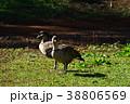 ハワイガン 野鳥 鳥の写真 38806569