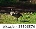 ハワイガン 野鳥 鳥の写真 38806570