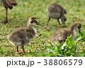 ハワイガン 野鳥 鳥の写真 38806579