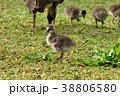 ハワイガン 野鳥 鳥の写真 38806580