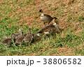 ハワイガン 野鳥 鳥の写真 38806582
