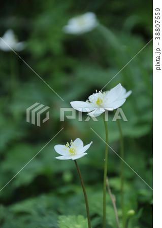 里山に咲く二輪草 38807659