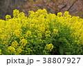 菜の花 春 花の写真 38807927