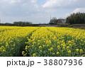 菜の花 春 花の写真 38807936