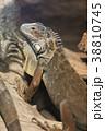 イグアナ グリーンイグアナ 爬虫類の写真 38810745