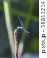 トンボ 昆虫 虫の写真 38811214