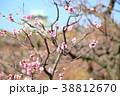 ピンク 梅の花 梅林の写真 38812670