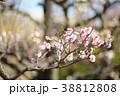 花 アップ 梅の写真 38812808