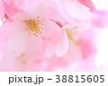春爛漫 38815605