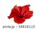 花 ハイビスカス 赤の写真 38816115