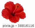 花 ハイビスカス 赤の写真 38816116