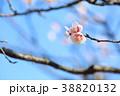 花 アップ 梅の写真 38820132