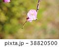 花 梅 薄桃色の写真 38820500