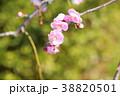 花 梅 薄桃色の写真 38820501