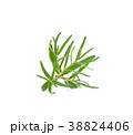 rosemary on white background 38824406