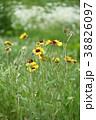初夏~晩秋に咲く黄色い花、てんにん菊 38826097