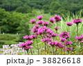 夏の花、ピンクのモナルダ 38826618