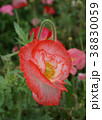 ポピー 花 ケシの写真 38830059