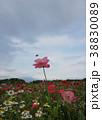 ポピー 花 ケシの写真 38830089