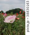 ポピー 花 ケシの写真 38830163
