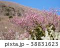《神奈川県》湯河原梅林・梅の宴 38831623