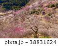 《神奈川県》湯河原梅林・梅の宴 38831624