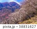 《神奈川県》湯河原梅林・梅の宴 38831627