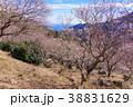《神奈川県》湯河原梅林・梅の宴 38831629