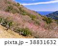 《神奈川県》湯河原梅林・梅の宴 38831632