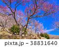 《神奈川県》湯河原梅林・梅の宴 38831640