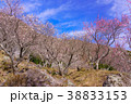 《神奈川県》湯河原梅林 38833153