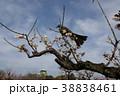 大阪城梅林のヒヨドリ 38838461