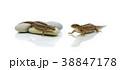 とかげ トカゲ は虫類の写真 38847178