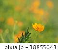 コスモス キバナコスモス 花の写真 38855043