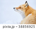 狐 冬 北狐の写真 38856925