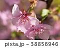 河津桜 花 桜の写真 38856946
