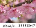 河津桜 カワヅザクラ 花の写真 38856947