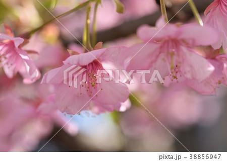 サクラ(河津桜) 38856947