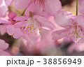 河津桜 カワヅザクラ 花の写真 38856949