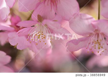 サクラ(河津桜) 38856949