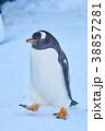 ジェンツーペンギン ペンギン 散歩の写真 38857281