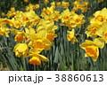 植物 花 水仙の写真 38860613