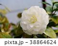 椿 花 アップの写真 38864624