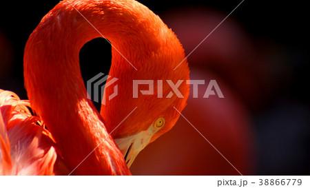 紅色のフラミンゴ 38866779