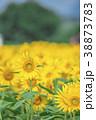ひまわり畑 38873783
